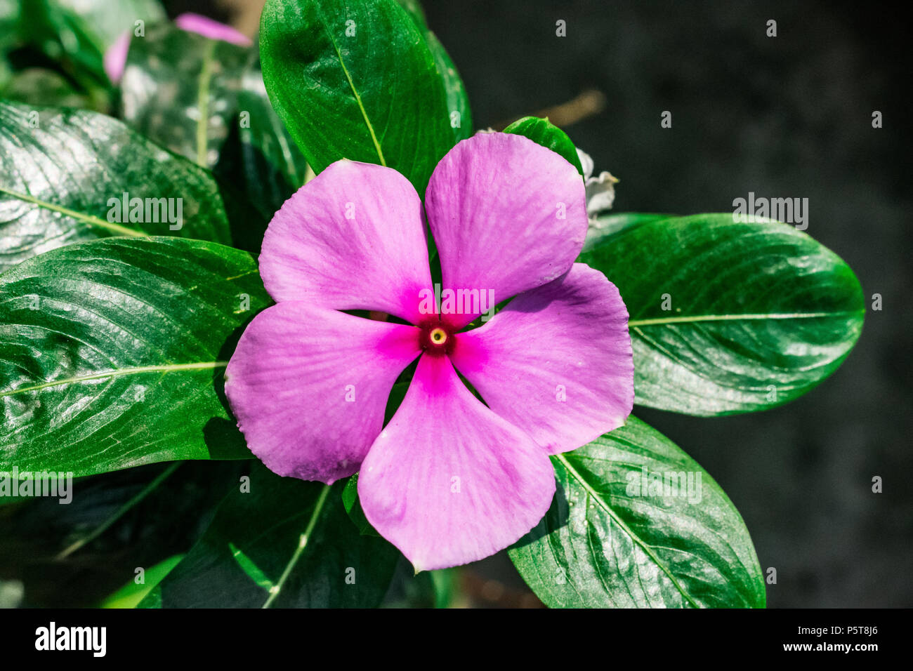 Fiori 5 Petali Rosa.Madagascar Pervinca Hot Cinque Petalo Fiore Cinque Petali Di Fiori