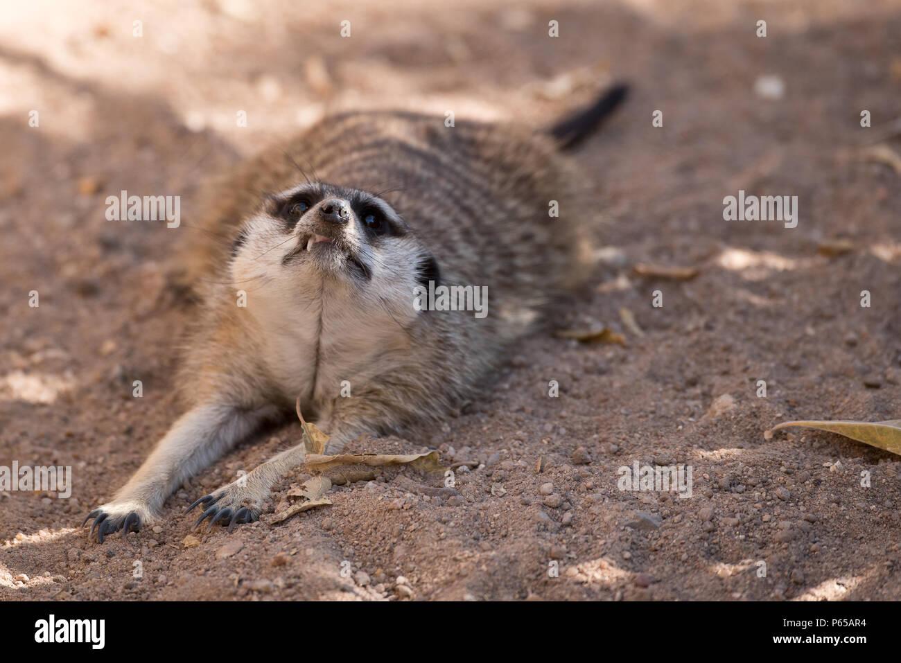 Meerkat con un sorriso impertinente Immagini Stock