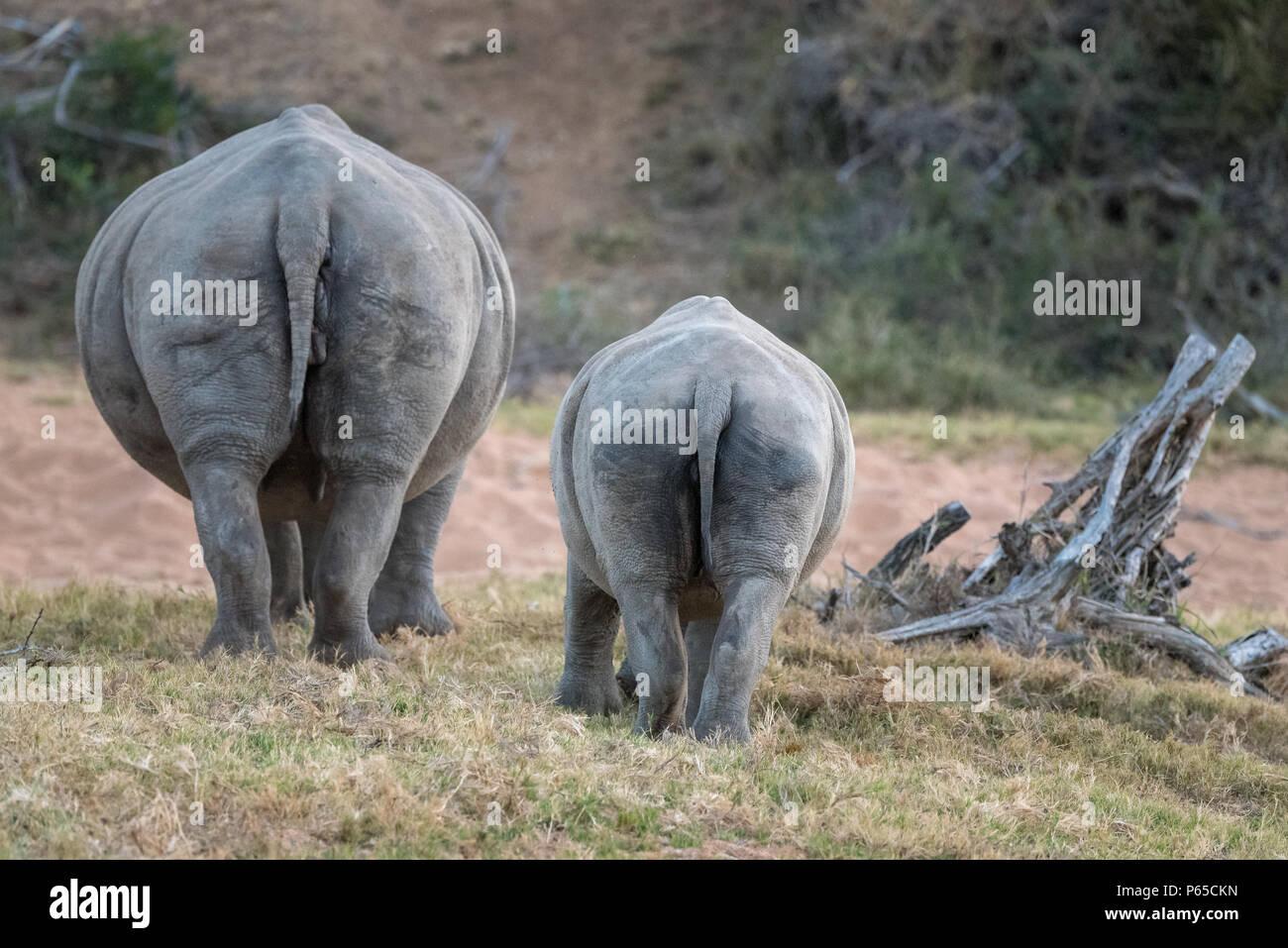 Coppia di rinoceronti vista posteriore, pascolo Immagini Stock