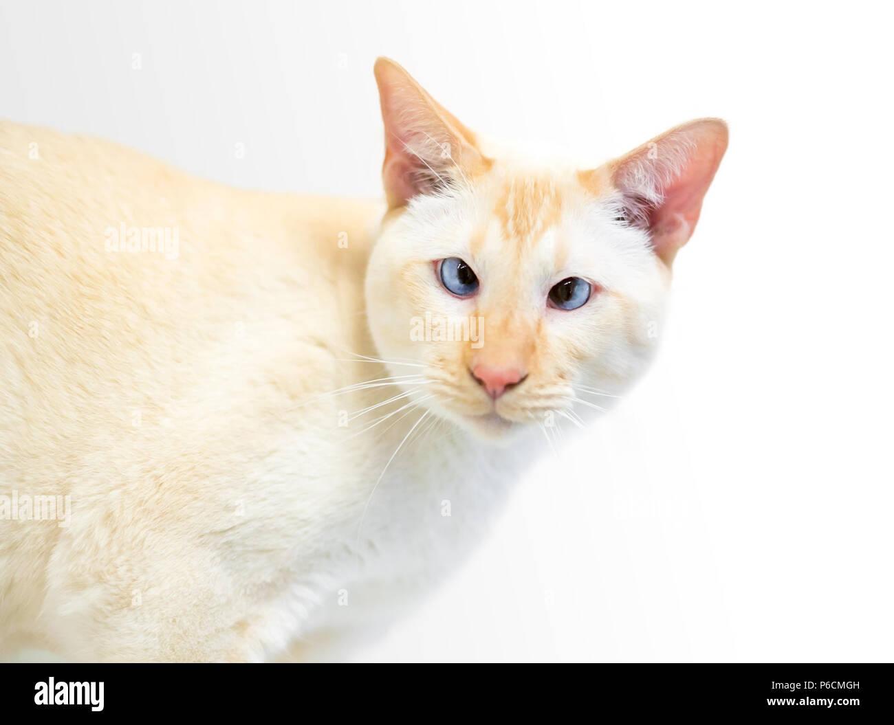 Un gatto siamese gatto con punto di fiamma marcature e occhi incrociati Immagini Stock