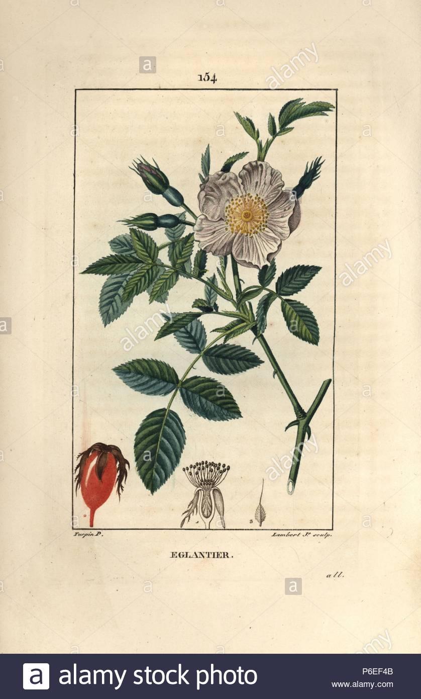 Wild Rose In Radica Rosa Canina Con Fiore Bocciolo Di Rosa Canina