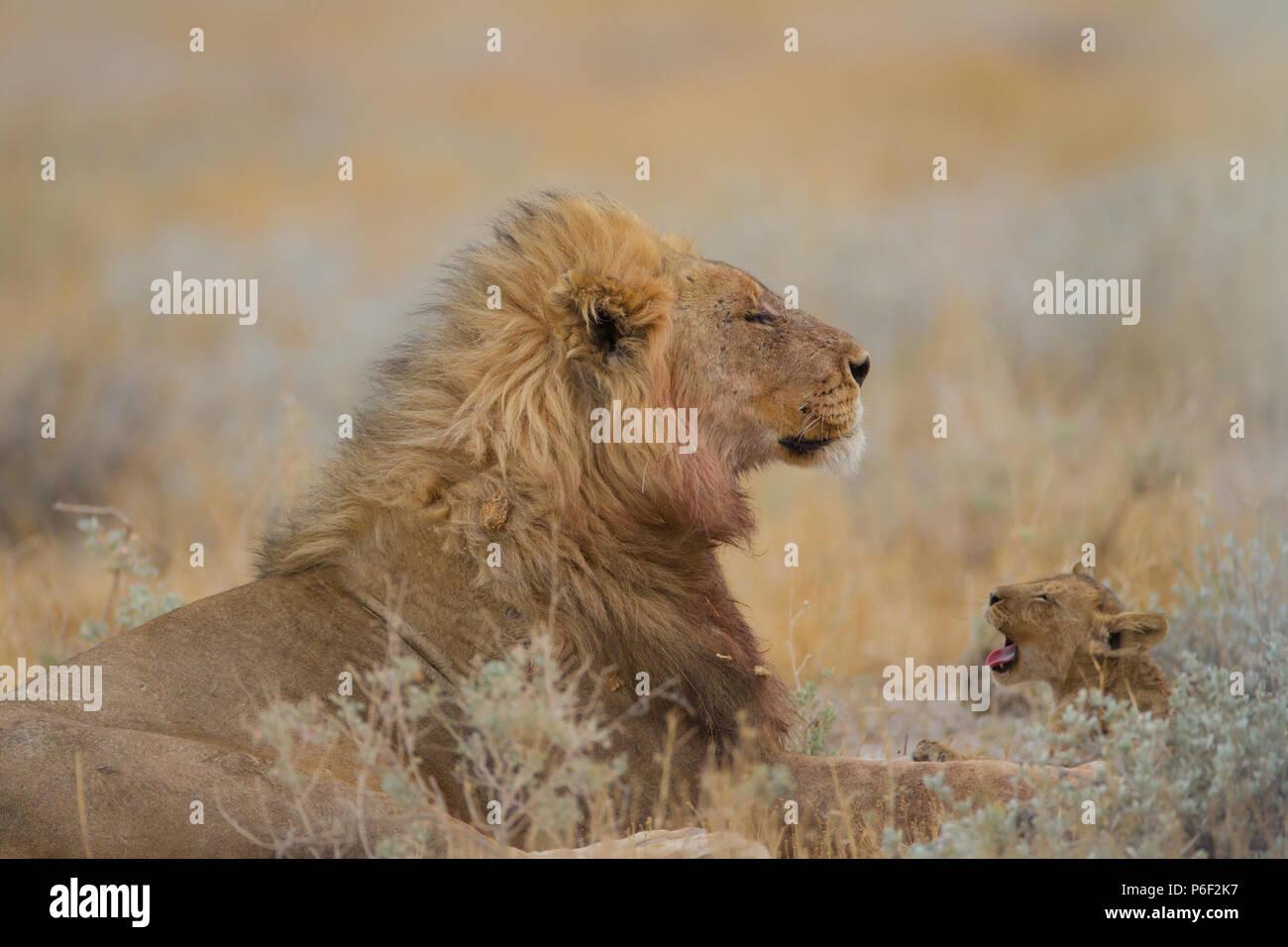 Maschio di leone con la sua progenie nel deserto Immagini Stock