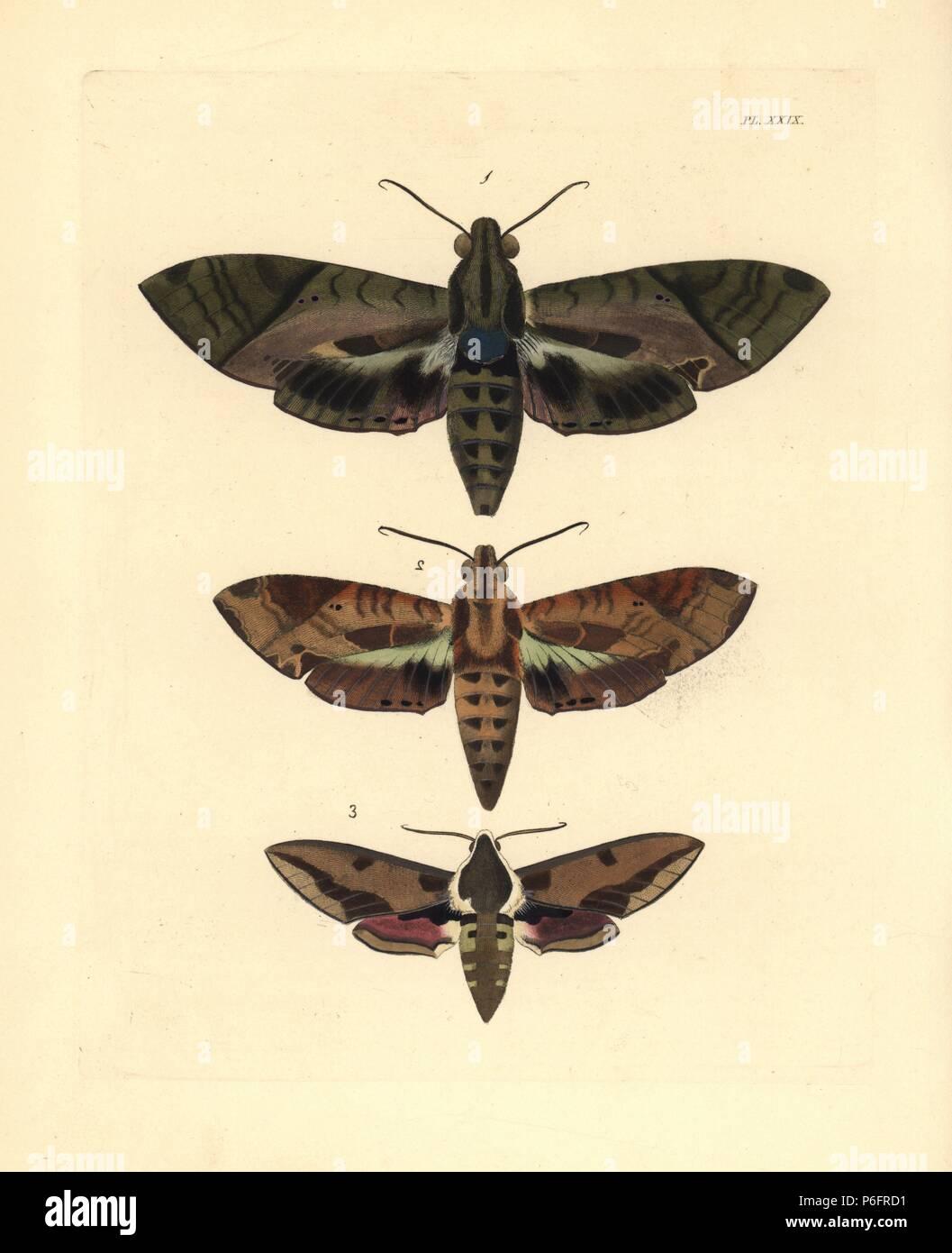 Satellite Sphinx, Eumorpha satellitia, femmina 1 e maschio 2, e di euforbia hawk-moth, Hyles euphorbiae 3. Handcolored litografia dal John O. Westwood la nuova edizione di Dru Drury 'illustrazioni di Entomologia esotici,' Bohn, Londra, 1837. Foto Stock