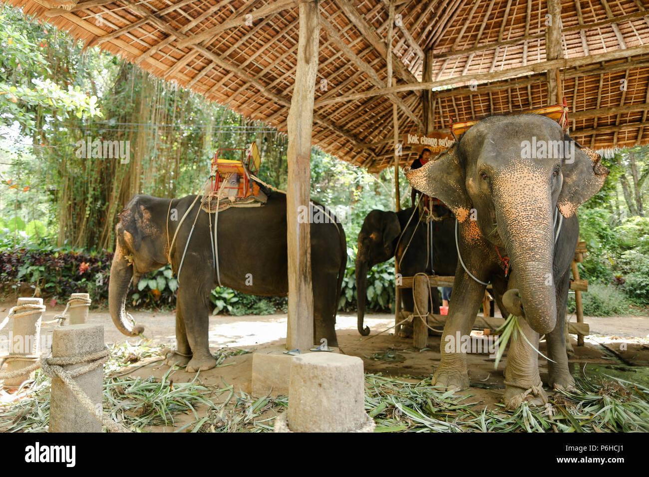 Gli elefanti addomesticati con sella pilota in Thailandia. Immagini Stock