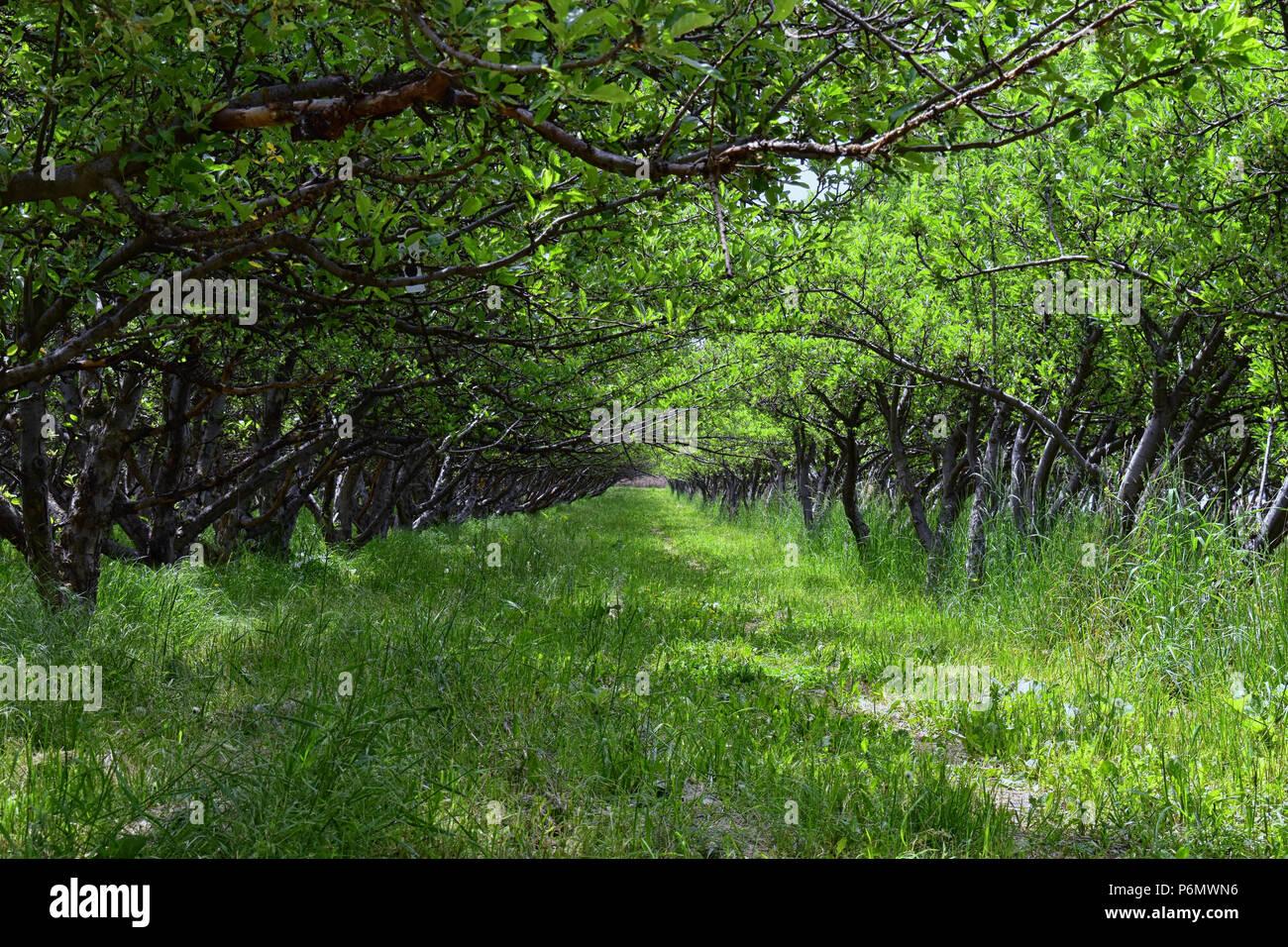 f6d281f37586 La molla Apple alberi da frutto frutteto. Fila di alberi di mele con erba  verde e tarassaco in Utah