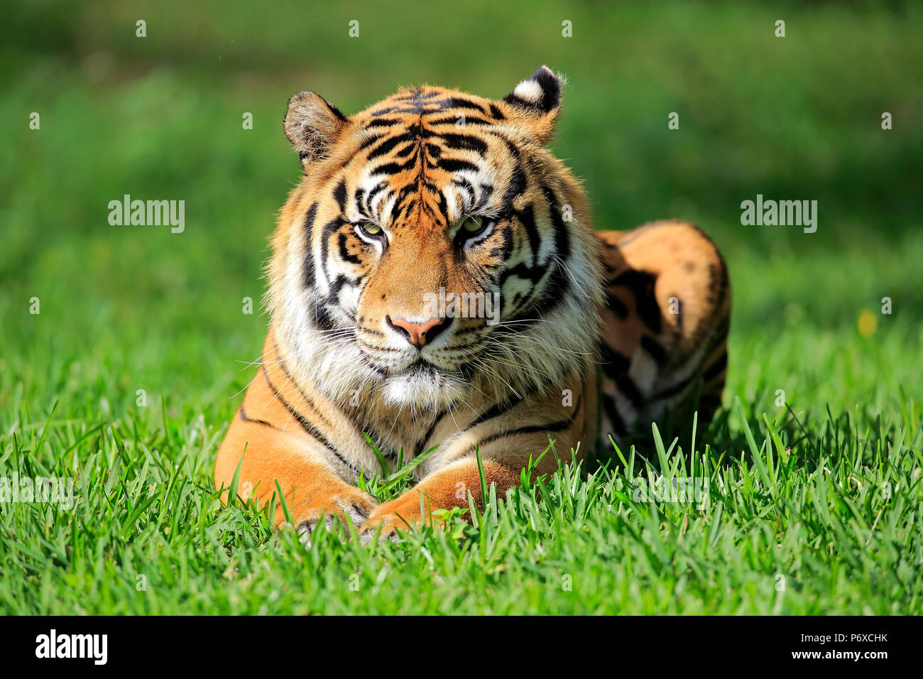La tigre di Sumatra, maschio adulto, Sumatra, Asia, Panthera tigris sumatrae Immagini Stock