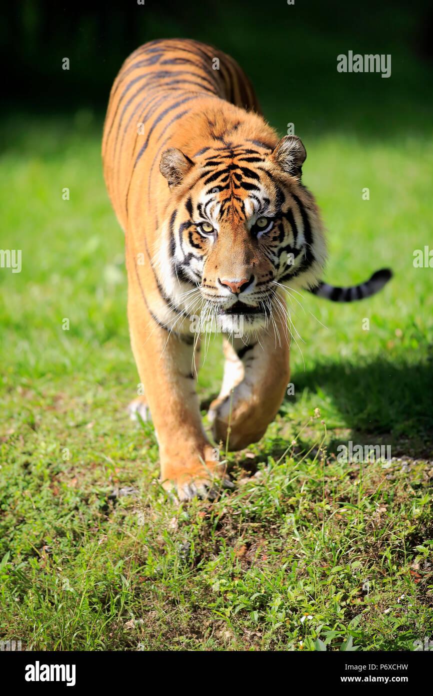 La tigre di Sumatra, maschio adulto a piedi, Sumatra, Asia, Panthera tigris sumatrae Immagini Stock