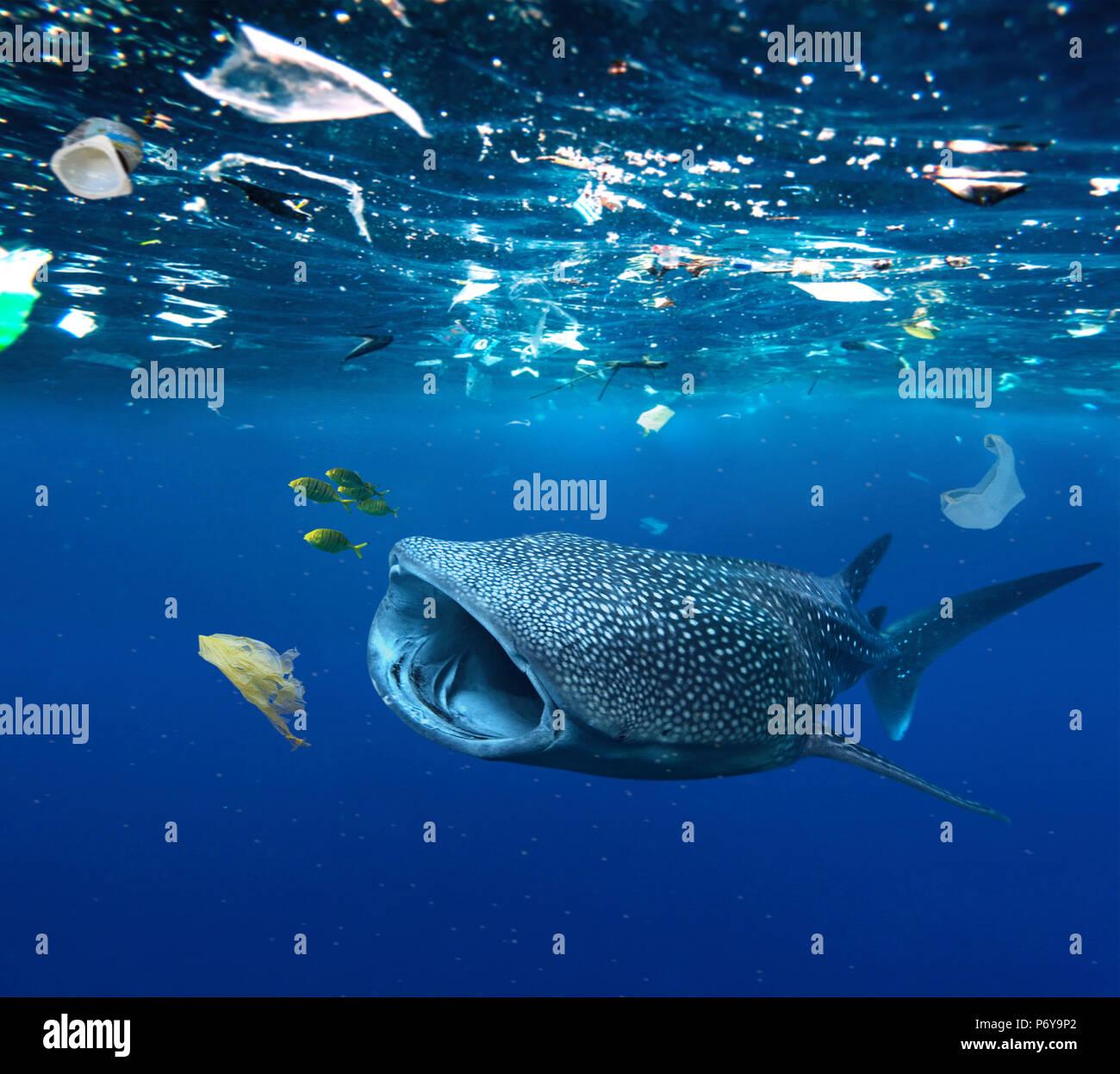 Squalo Balena, Rhincodon typus, alimentando nel mezzo di sacchetti di plastica e altri rifiuti di plastica. Immagini Stock
