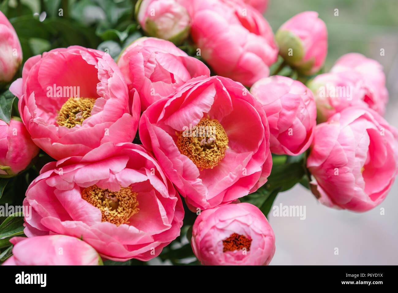 Carta Da Parati Fiori Rosa : Peonie rosa. bella estate bouquet. composizione floreale. carta da