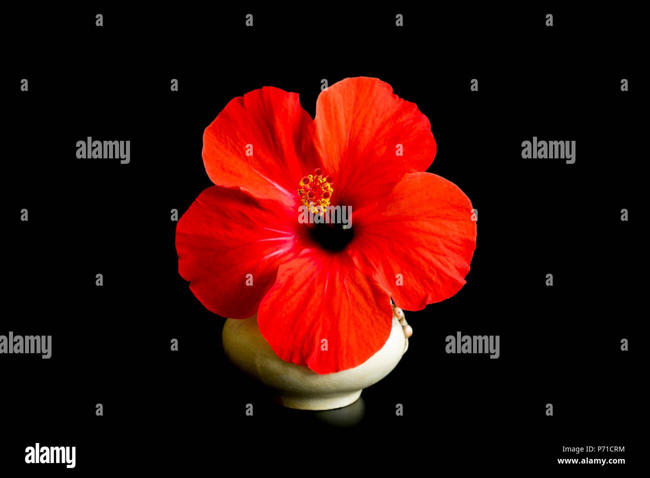Grande Fiore Rosso Isolato Su Sfondo Nero Fiore Di Hibiscus Isolati