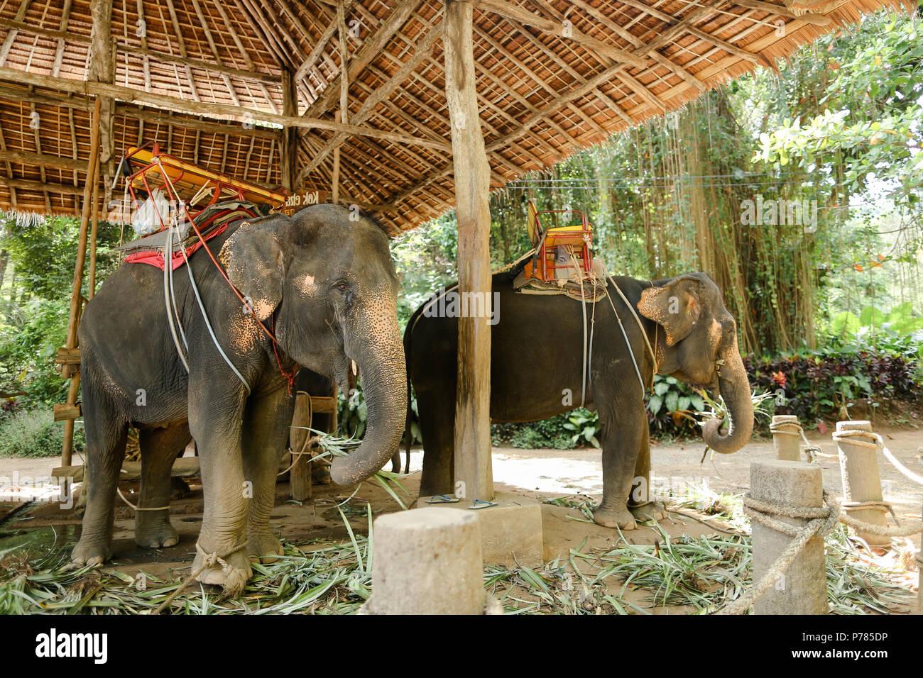 Enormi elefanti con sella pilota in Thailandia. Immagini Stock