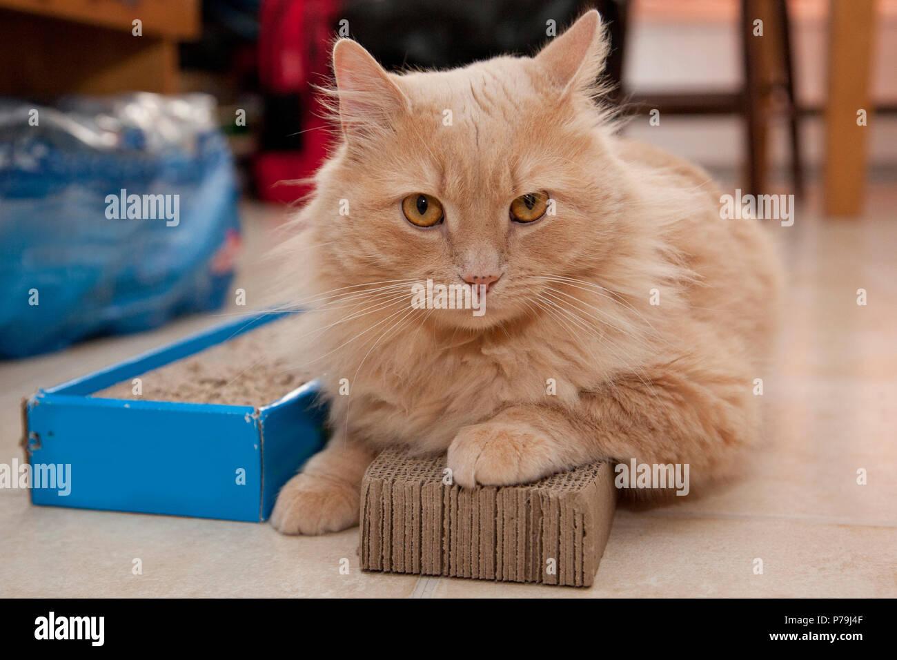 Un gatto si siede sulla parte superiore del suo cartone graffiare pattino non disposti a muoversi Immagini Stock