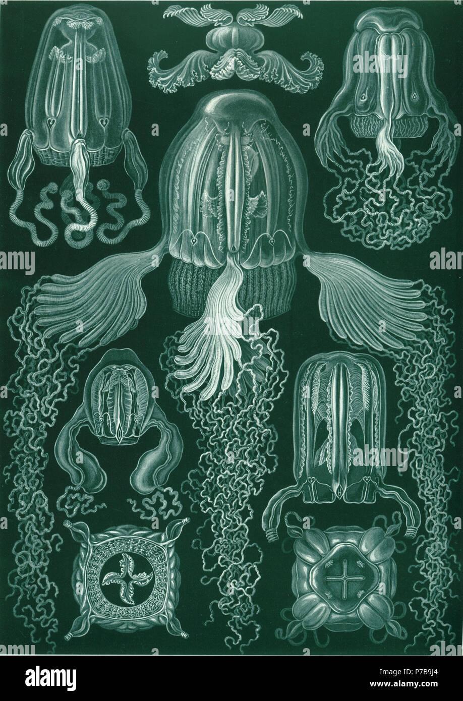 Inglese: Chirodropus palmatus (Haeckel) = Chirodropus palmatus Haeckel, 1880, dal lato Chiropsalmus quadrigatus (Haeckel) = Chiropsoides quadrigatus (Haeckel, 1880), dal lato Charybdea obeliscus (Haeckel) = Carybdea obeliscus Haeckel, 1880 / Alatina obeliscus (Haeckel, 1880), dal lato Charybdea obeliscus (Haeckel) = Carybdea obeliscus Haeckel, 1880 / Alatina obeliscus (Haeckel, 1880), apparato digerente Charybdea murrayana (Haeckel) = Carybdea murrayana Haeckel, 1880, dal basso Charybdea murrayana (Haeckel) = Carybdea murrayana Haeckel, 1880, dal di sopra Procharybdis tetraptera ( Immagini Stock