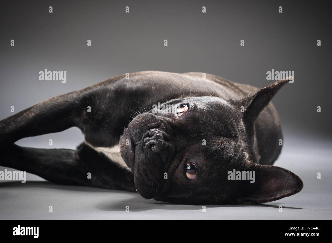 Ritratto Di Bulldog Francese Cane Isolato Su Sfondo Grigio Foto