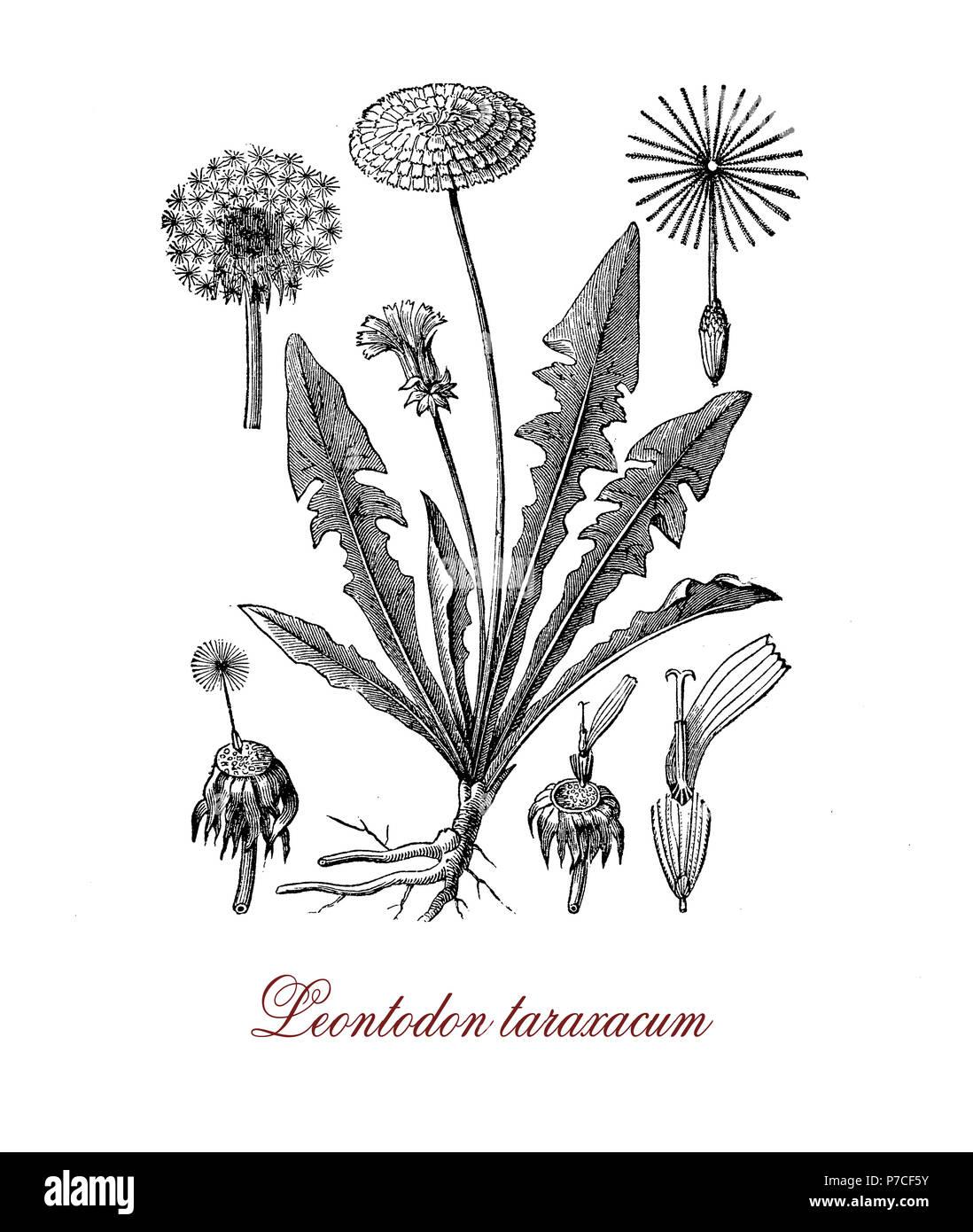 Fiori Gialli Tondi.Vintage Botanico Incisione Di Leontodon Taraxacum O Dandelium