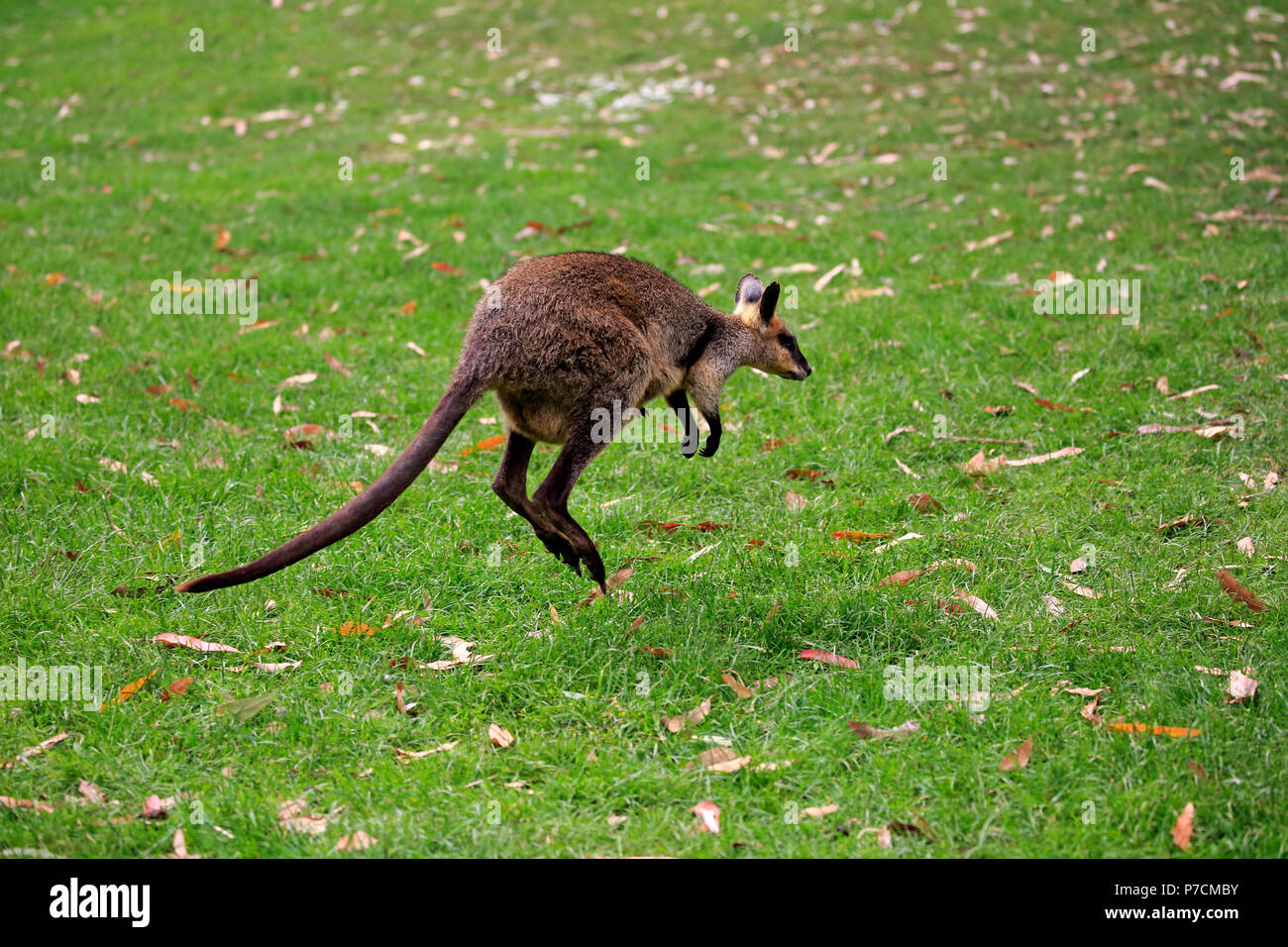 Agile Wallaby, adulti jumping, Cuddly Creek, South Australia, Australia (Macropus agilis) Immagini Stock