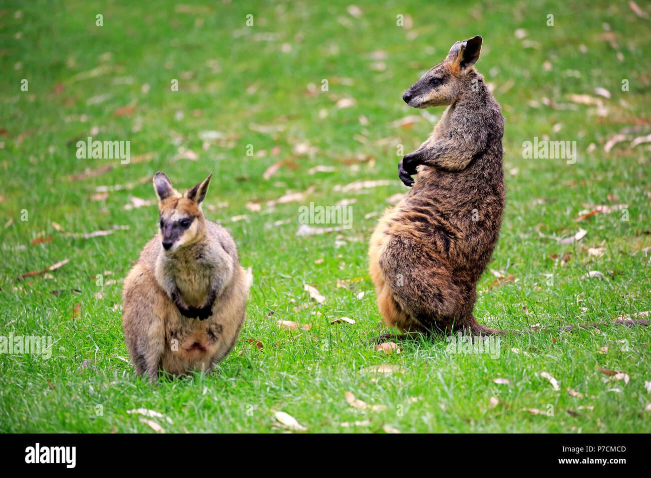 Agile Wallaby, giovane, maschio e femmina, Cuddly Creek, South Australia, Australia (Macropus agilis), Immagini Stock