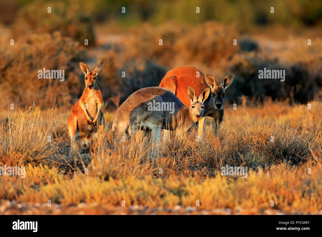 Canguro rosso, famiglia di avviso, Sturt Nationalpark, Nuovo Galles del Sud, Australia, (Macropus rufus) Immagini Stock
