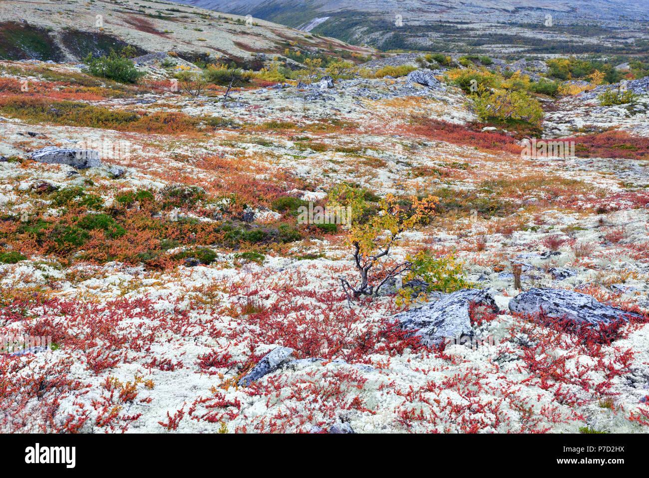 I colori luminosi e betulle e rocce con licheni delle renne, Fjell in autunno, Rondane National Park, Norvegia Immagini Stock