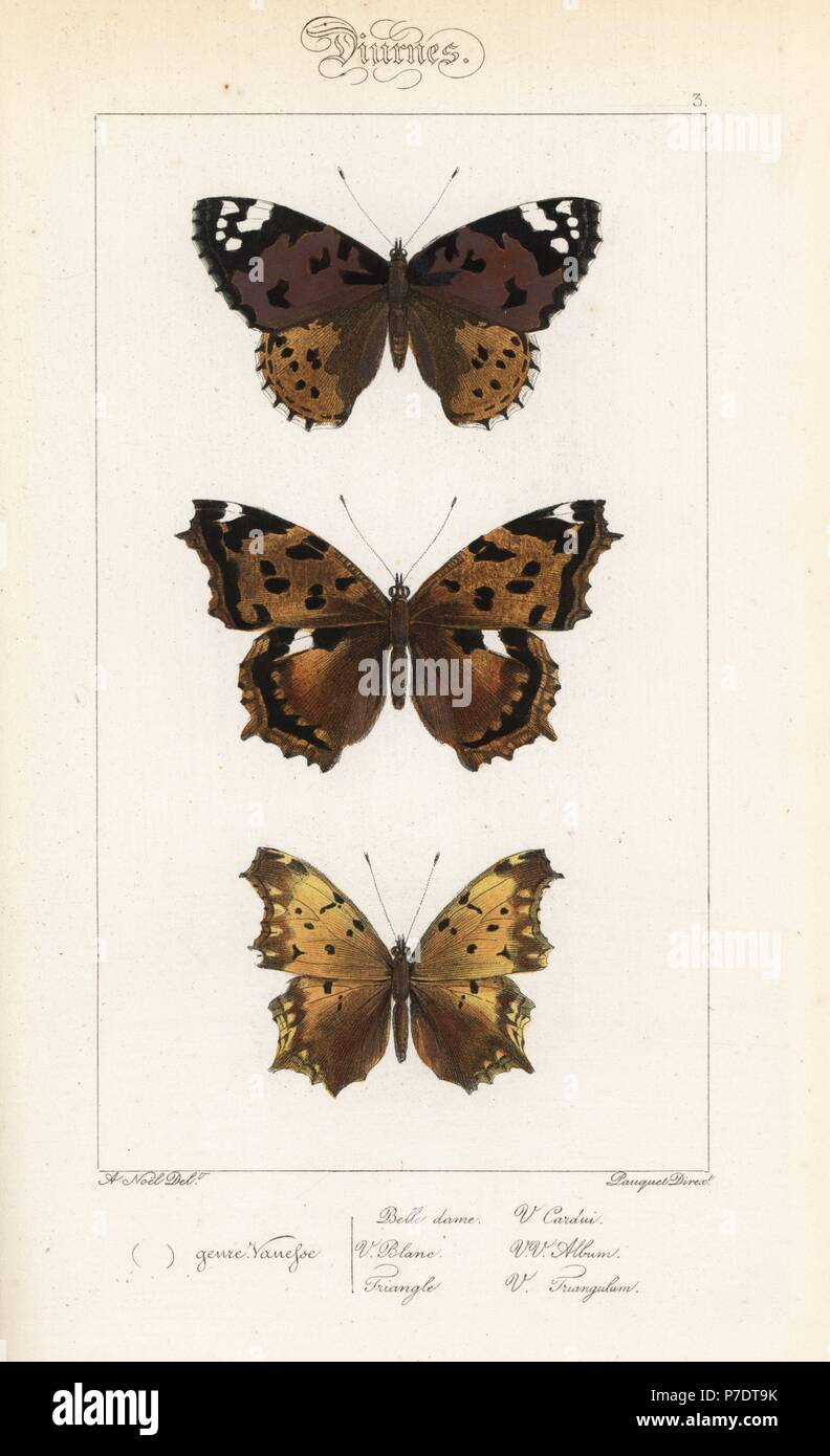 Dipinto di lady, Vanessa cardui, false virgola, Nymphalis vaualbum e virgola butterfly varietà, Polygonia c-album. Handcolored incisione in acciaio dai fratelli Pauquet dopo una illustrazione da Alexis Nicolas Noel da Hippolyte Lucas Storia naturale della politica europea di farfalle, Histoire Naturelle des Lepidopteres d'Europa, 1864. Foto Stock