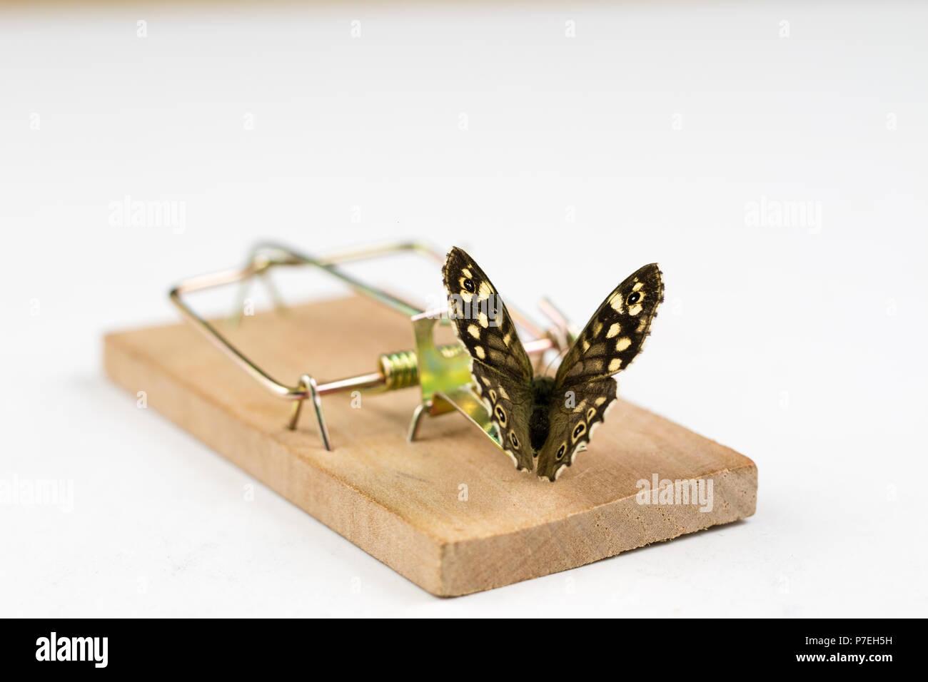 Un mousetrap e una farfalla posata su di esso. Trappola per insetti per metafore. Sfondo bianco. Immagini Stock