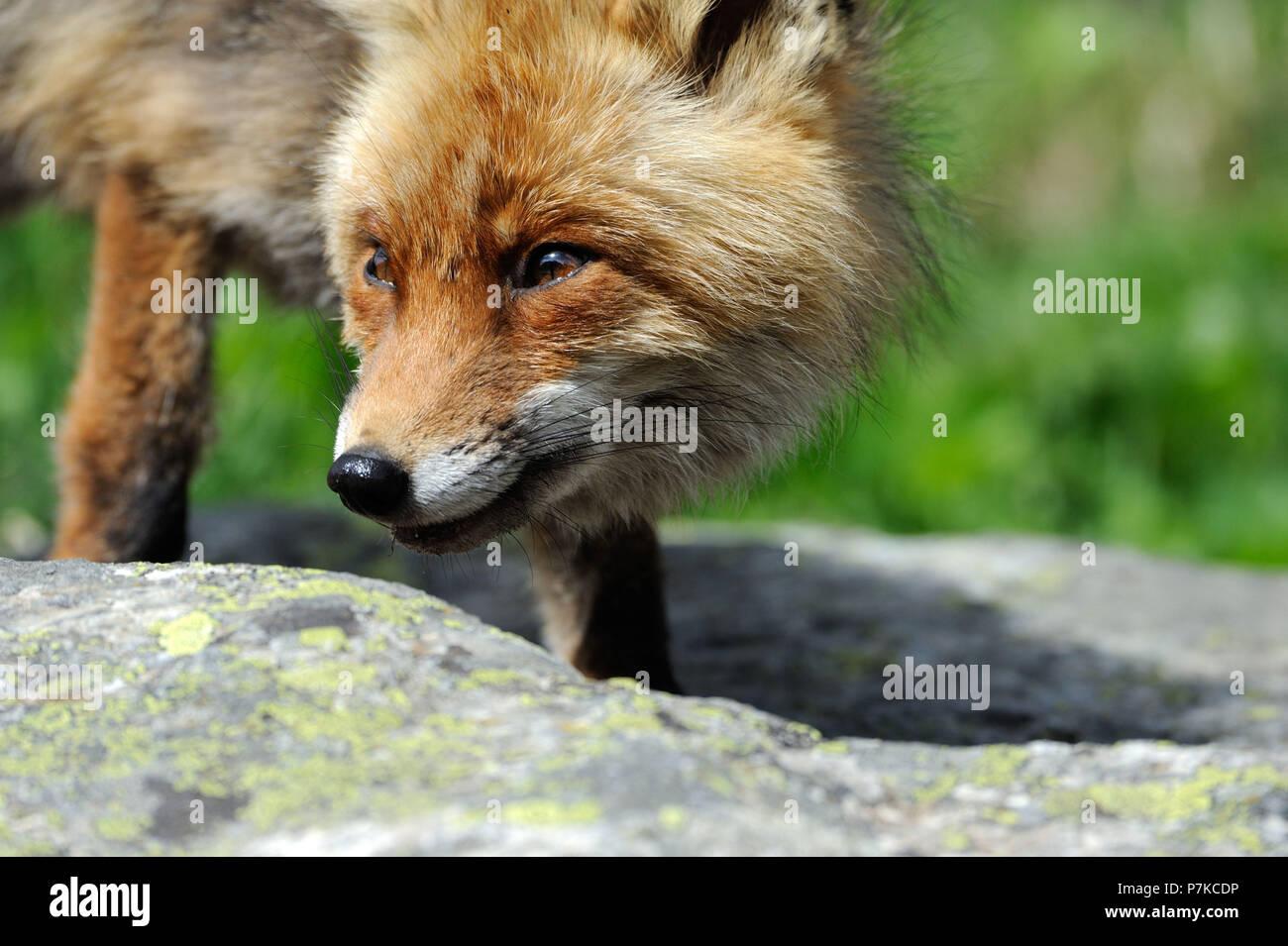 Fox, Red Fox Fox di montagna Immagini Stock