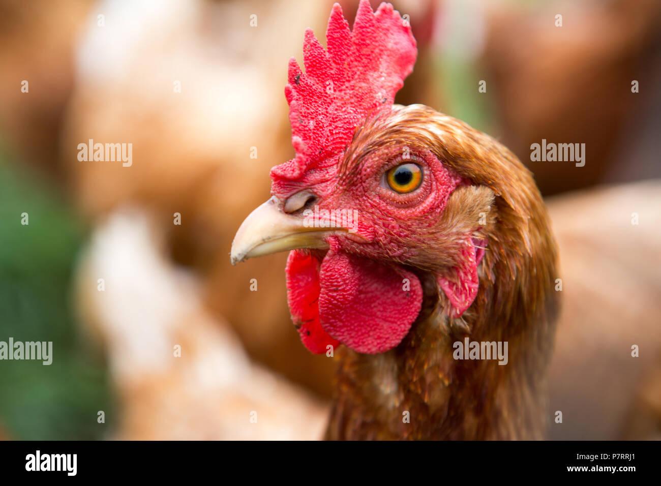 Pollo su di una azienda agricola biologica Immagini Stock