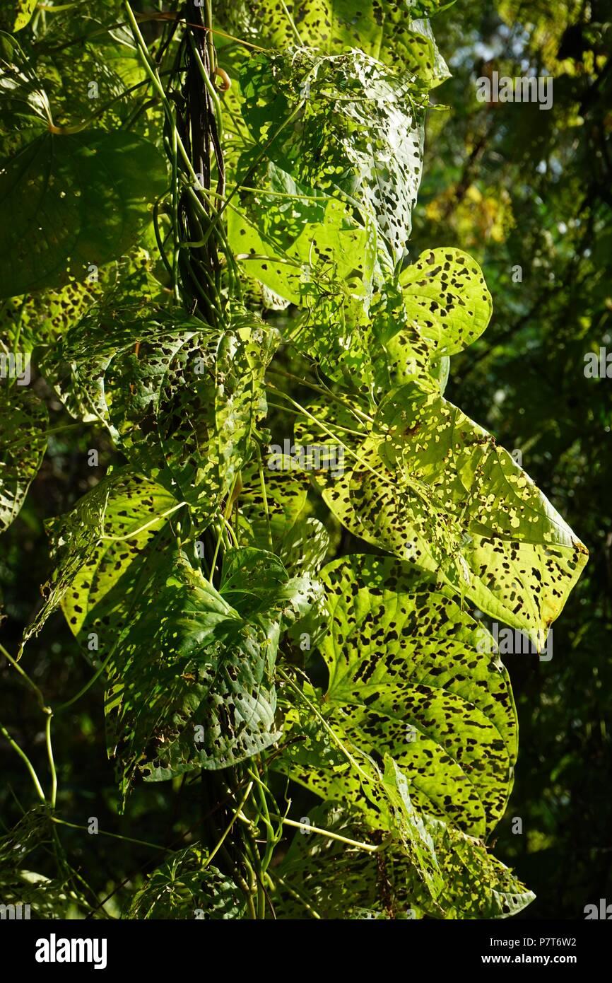 Primo piano della patata aria lascia perforati da insetti alimentare su di essi con il sole che splende attraverso la Dioscorea bulbifera Immagini Stock