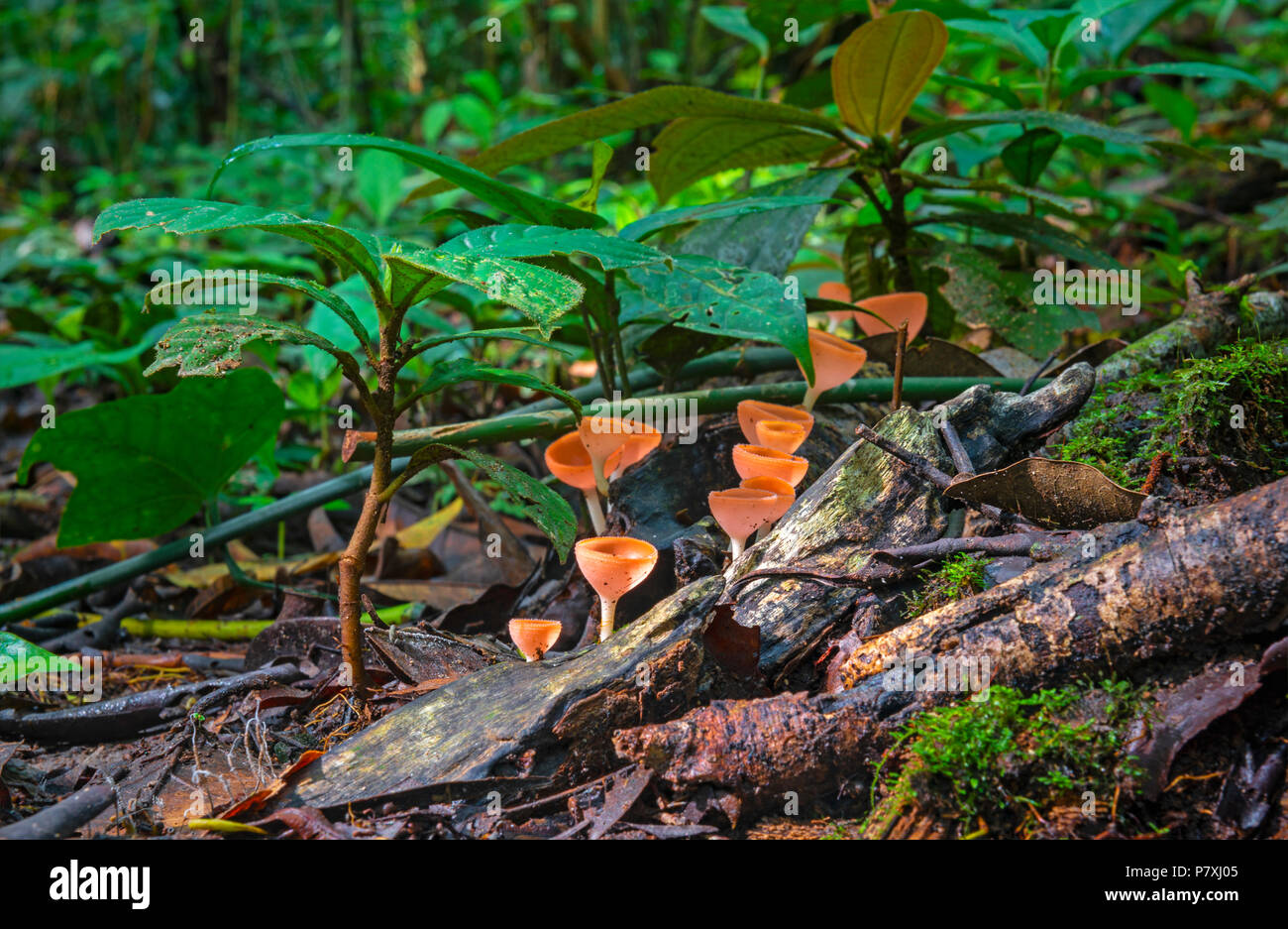 Una lunga esposizione fotografia della foresta pluviale amazzonica piano con rosso coppa neotropical fungo (Cookeina sulcipes) all'interno del Yasuni National Park, Ecuador. Immagini Stock