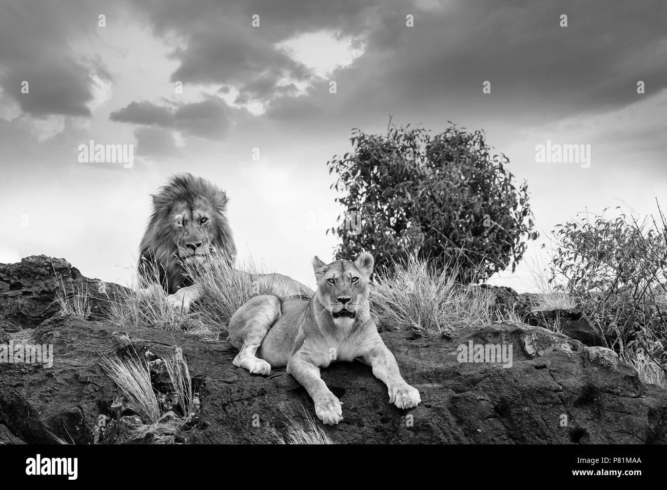 Maschio e femmina cerca lions intimidatorio e paura in appoggio su una roccia nel deserto Masai Mara Kenya Immagini Stock