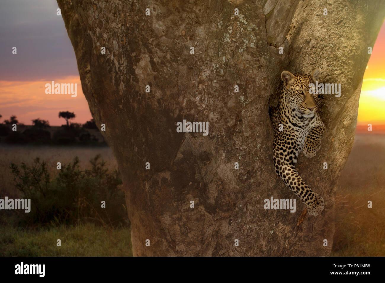 La più bella femmina di leopard in appoggio su una struttura ad albero di salsiccia durante il tramonto in Kenya Immagini Stock