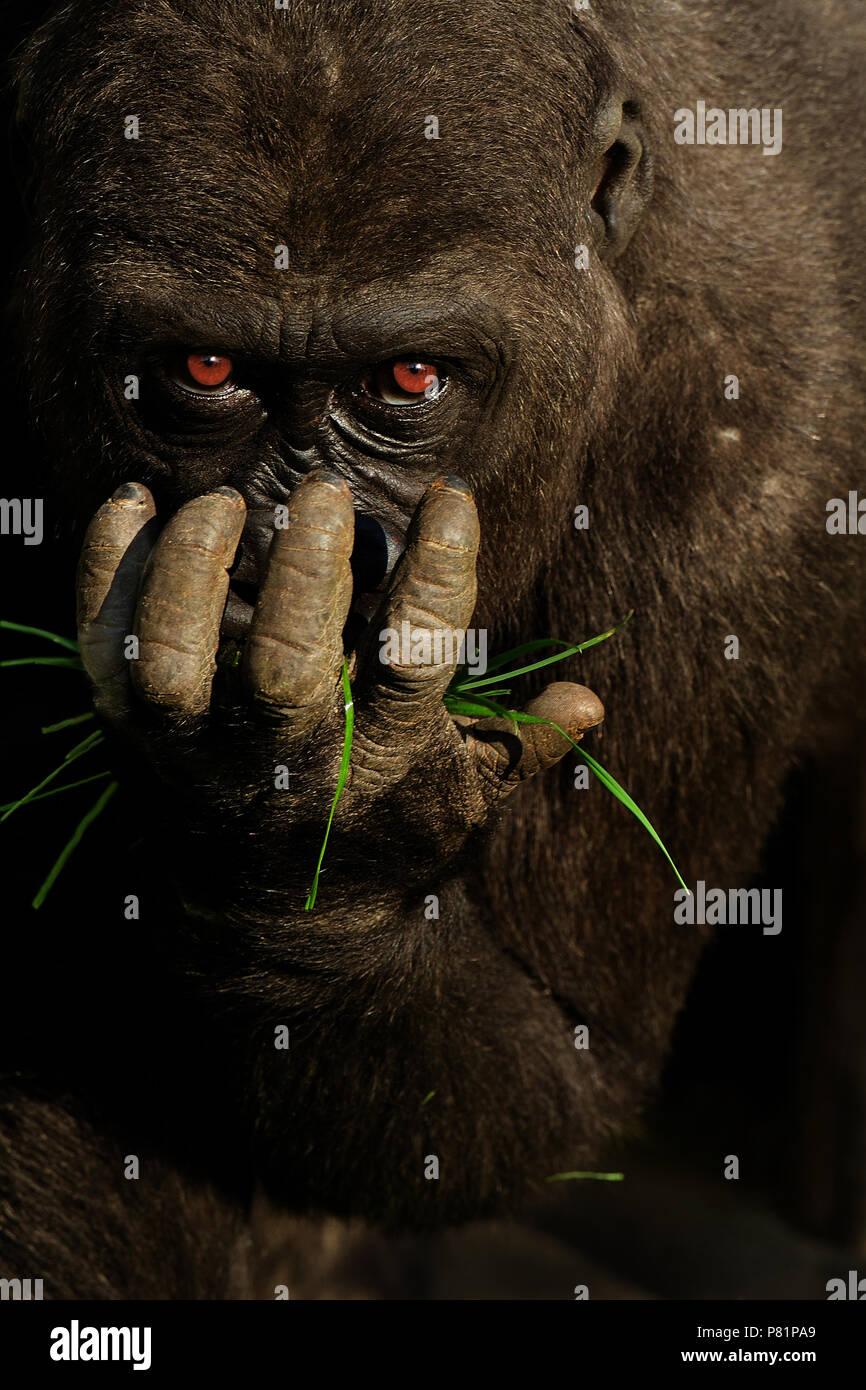 Wild pianura gorilla fissando direttamente close up ritratto Immagini Stock