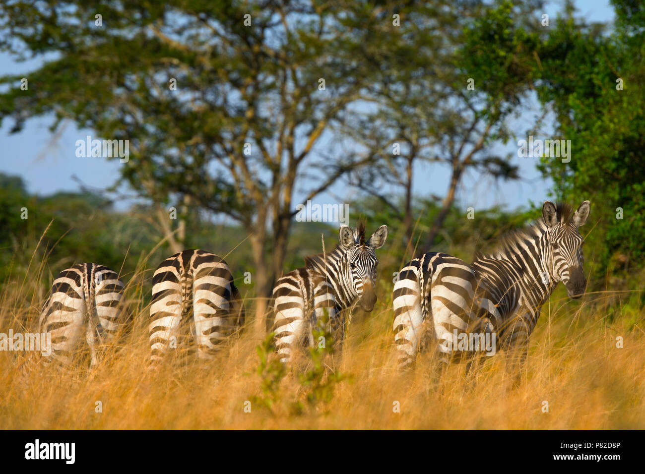 Zebra, zebre, Equus quagga al Lago Mburo National Park, Uganda, Africa orientale Immagini Stock