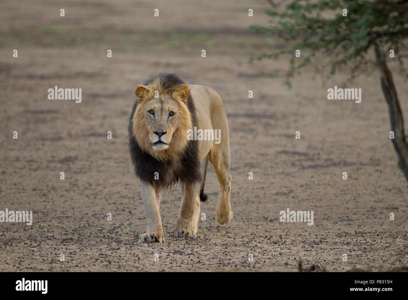 Maschio nero maned deserto Kalahari lion nella boccola Immagini Stock
