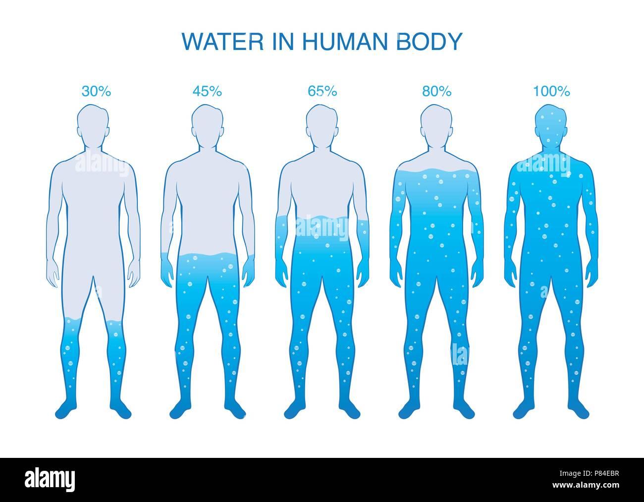 Differenza Percentuale Di Acqua Nel Corpo Umano Illustrazione