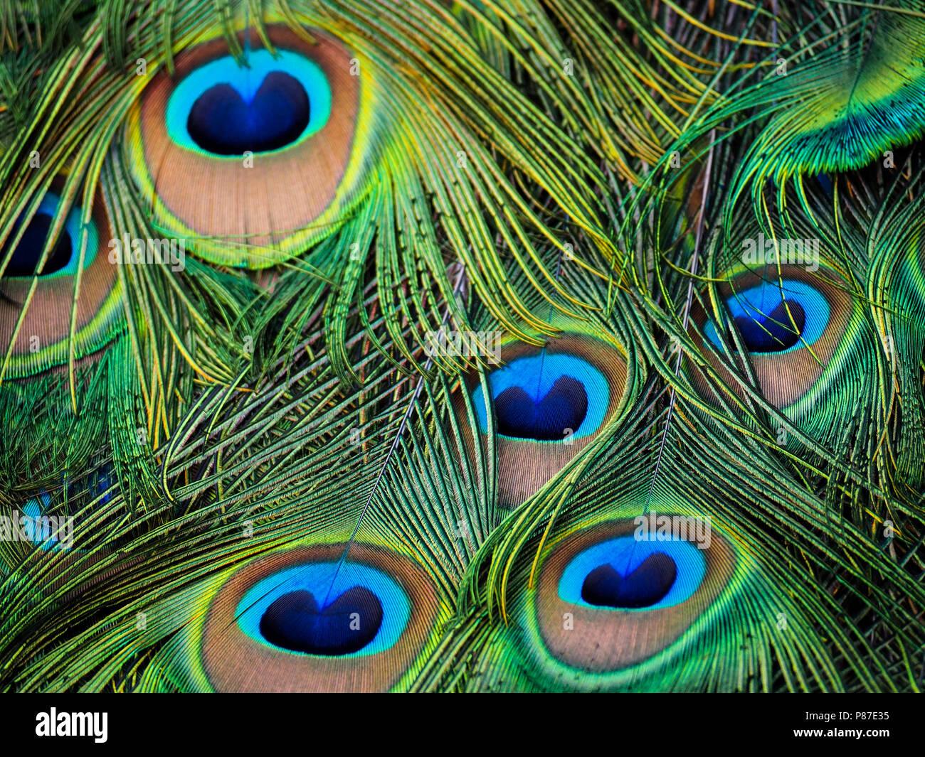 Peacock piuma. Fotografia scattata a Londra (Holland Park) Immagini Stock