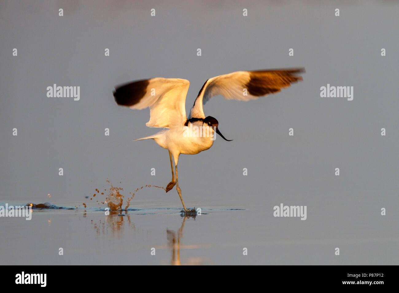 Pied Avocet, Kluut, Recurvirostra avosetta Immagini Stock