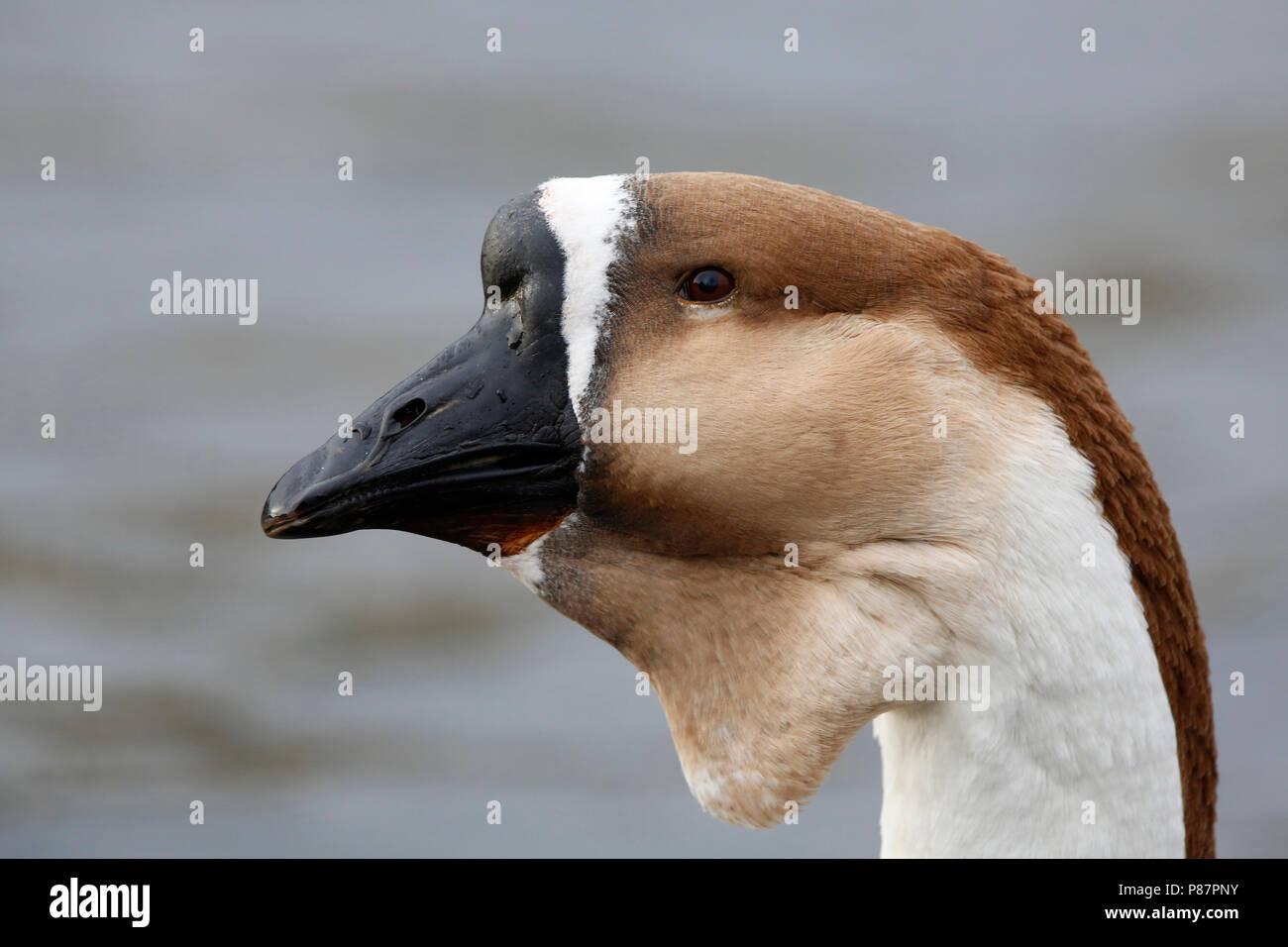 Portret soepgans; portret goose Immagini Stock