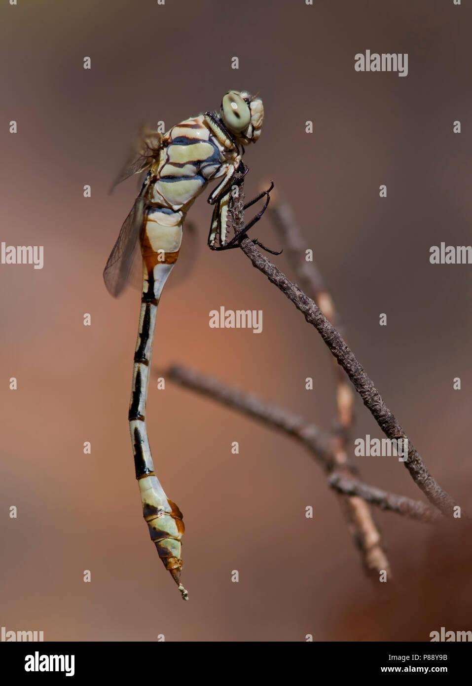 Imago Vaandeldrager; Bladetail adulti Immagini Stock