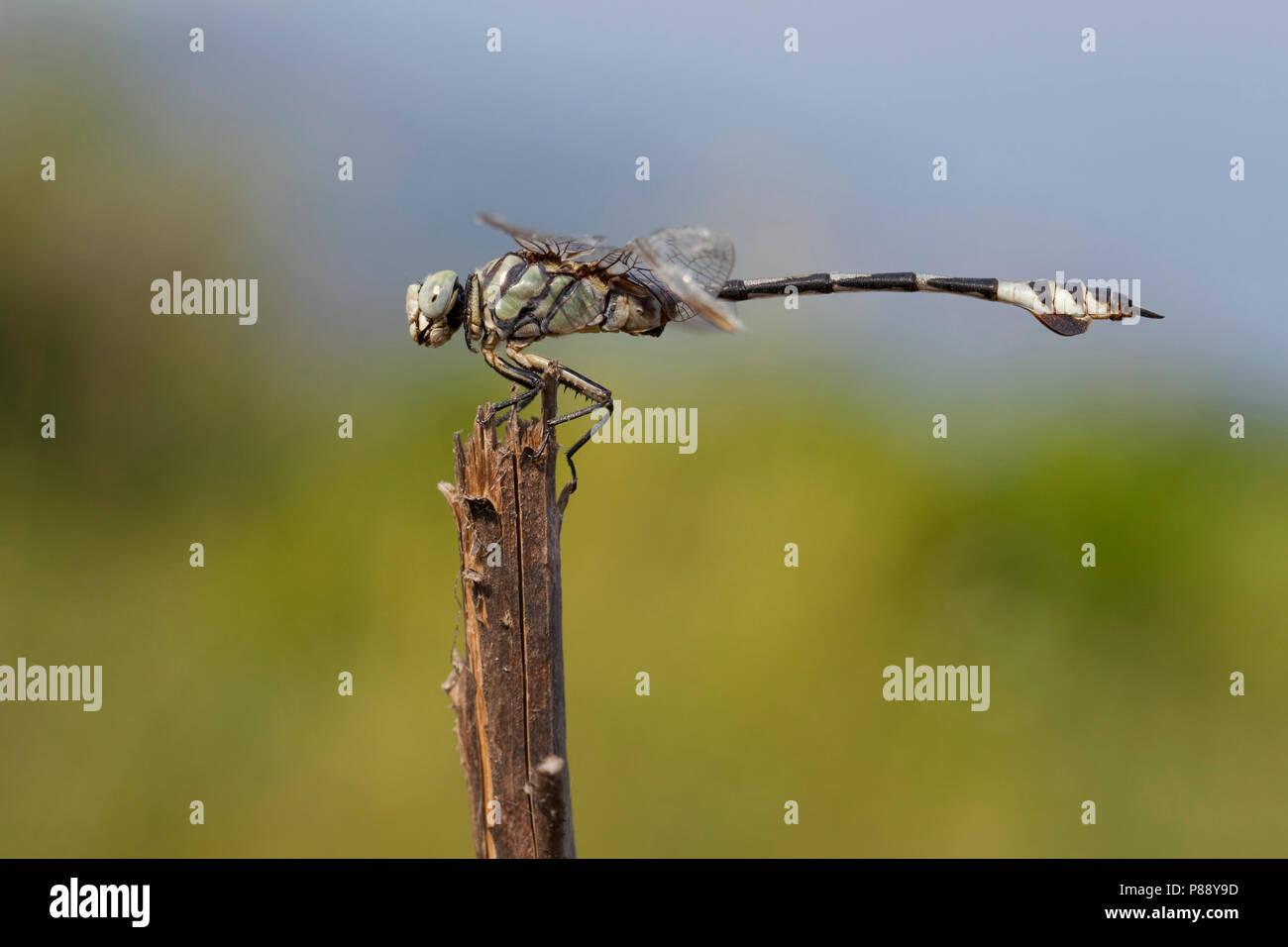 Imago Vaandeldrager; Bladetail adulti; Immagini Stock