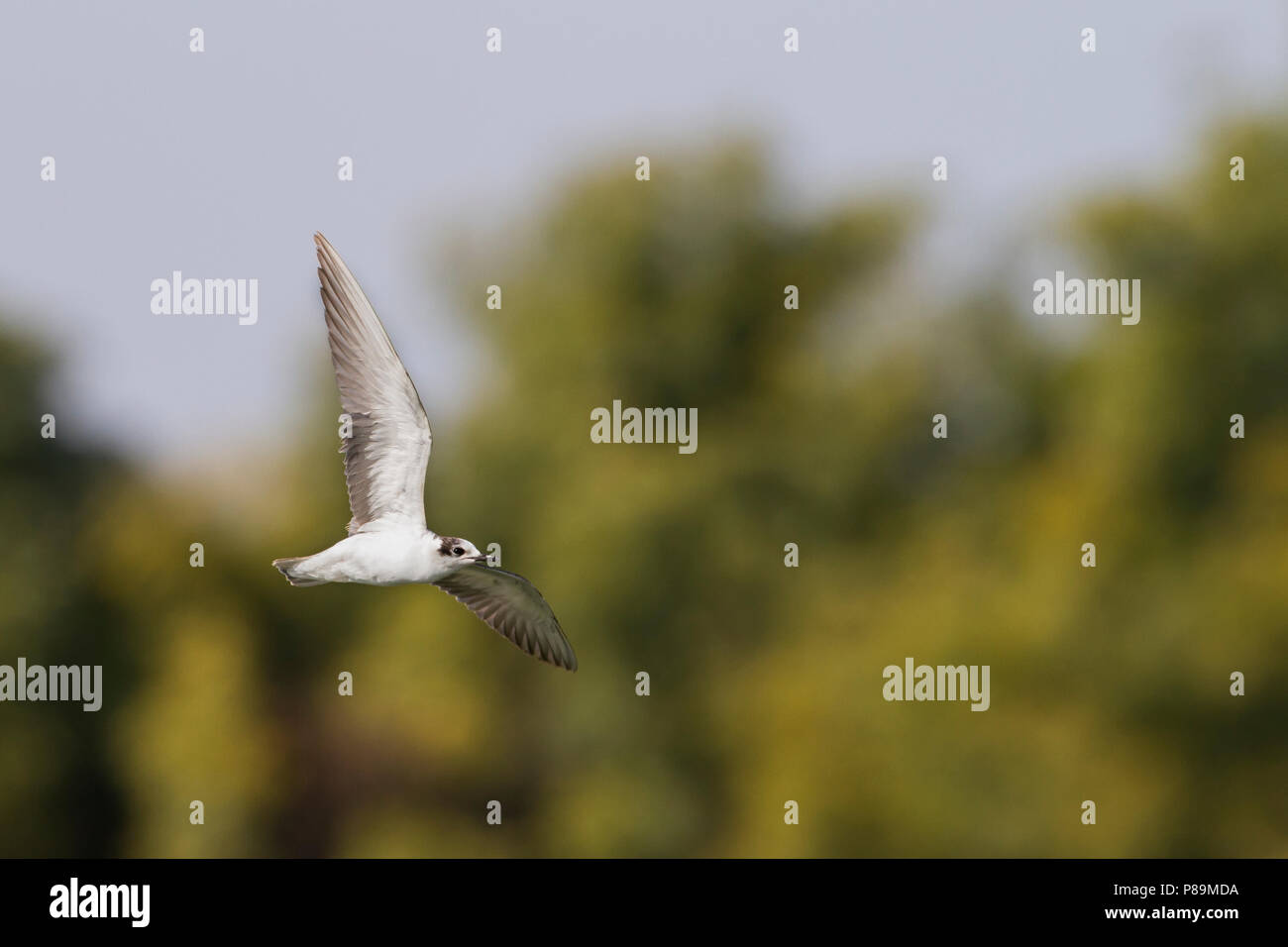 Witvleugelstern, bianco-winged Tern, Chlidonias leucopterus, Oman, 1 W Immagini Stock