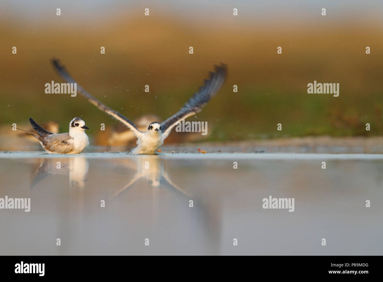 Bianco-winged Tern - Weissflügel-Seeschwalbe - Chlidonias leucopterus, Oman, 1 W Immagini Stock