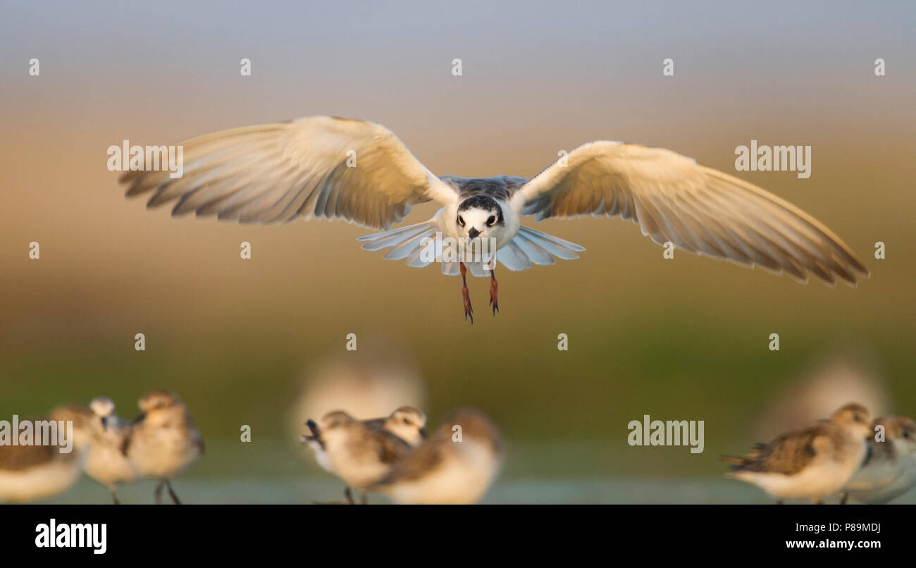 Witvleugelstern, bianco-winged Tern, Chlidonias leucopteruss, Oman, 1 W Immagini Stock