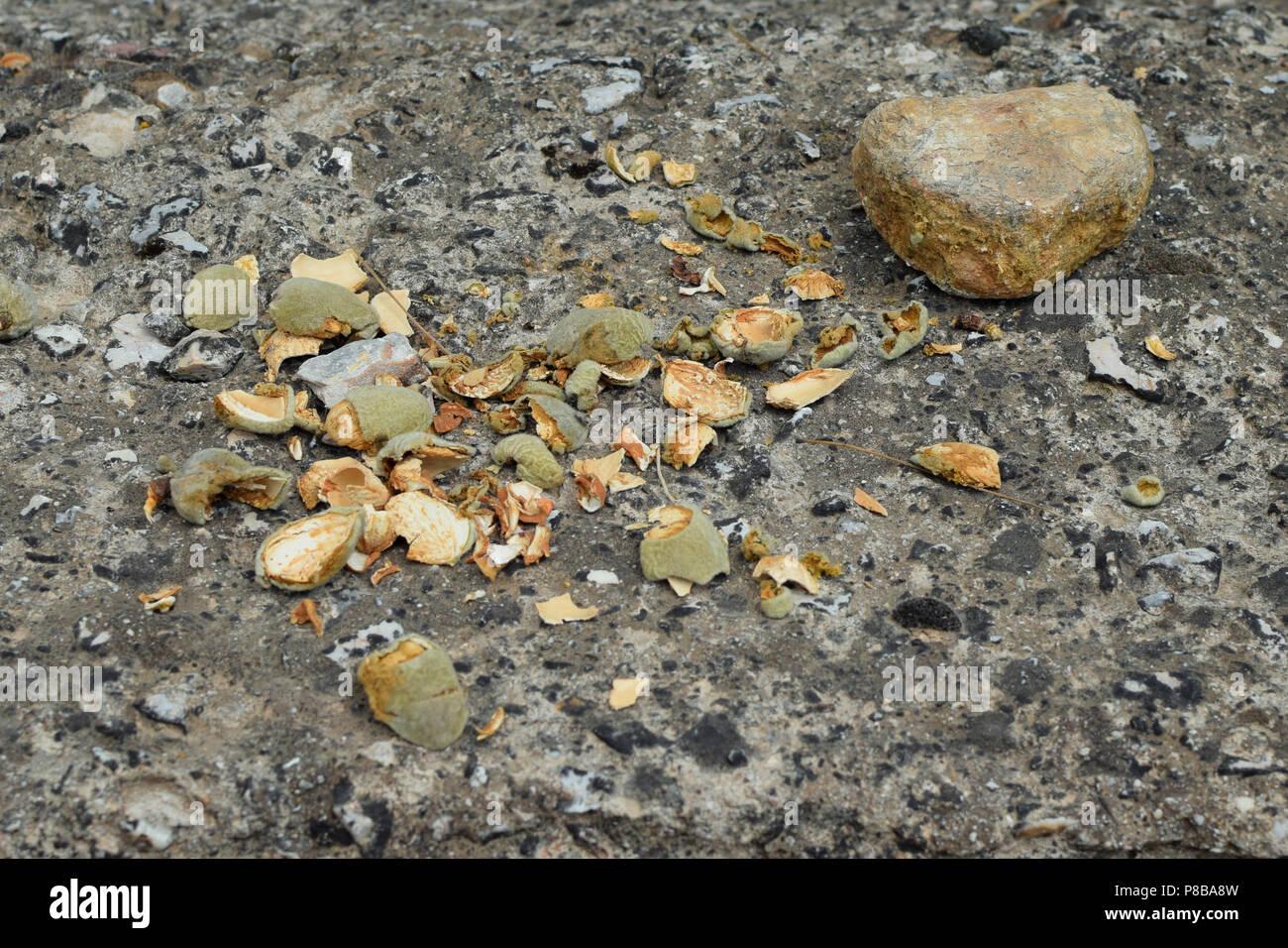 Mandorla fresca gusci dello scafo crepe aperte con una pietra. Foto Stock
