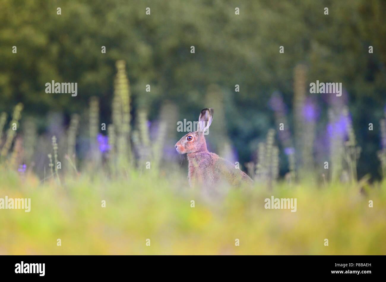 Lepre nel deserto, vacanze di pasqua bunny Coniglio Coniglio jack Immagini Stock