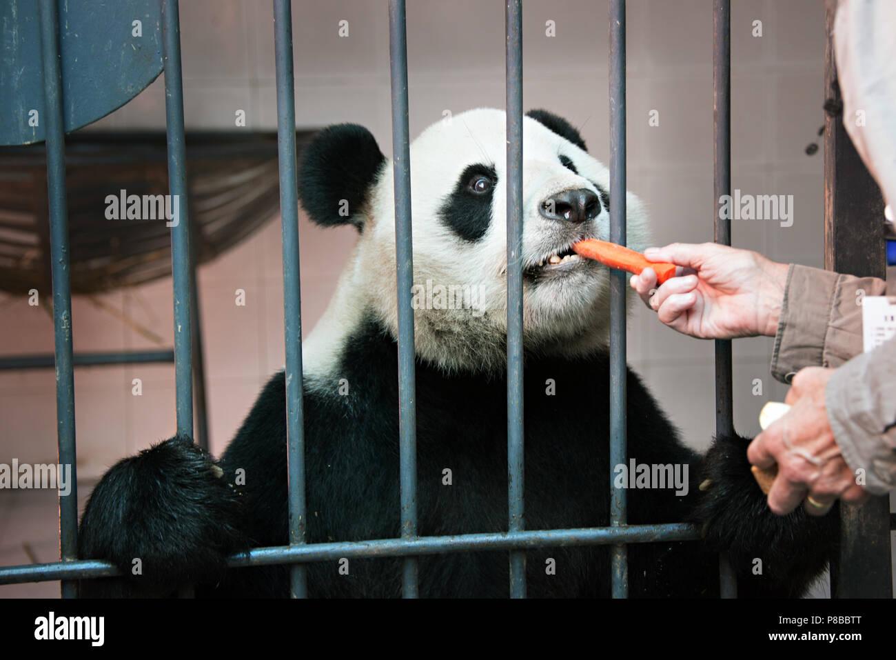 Una donna visitatore è l'alimentazione di un panda gigante a Chengdu centro di allevamento Immagini Stock