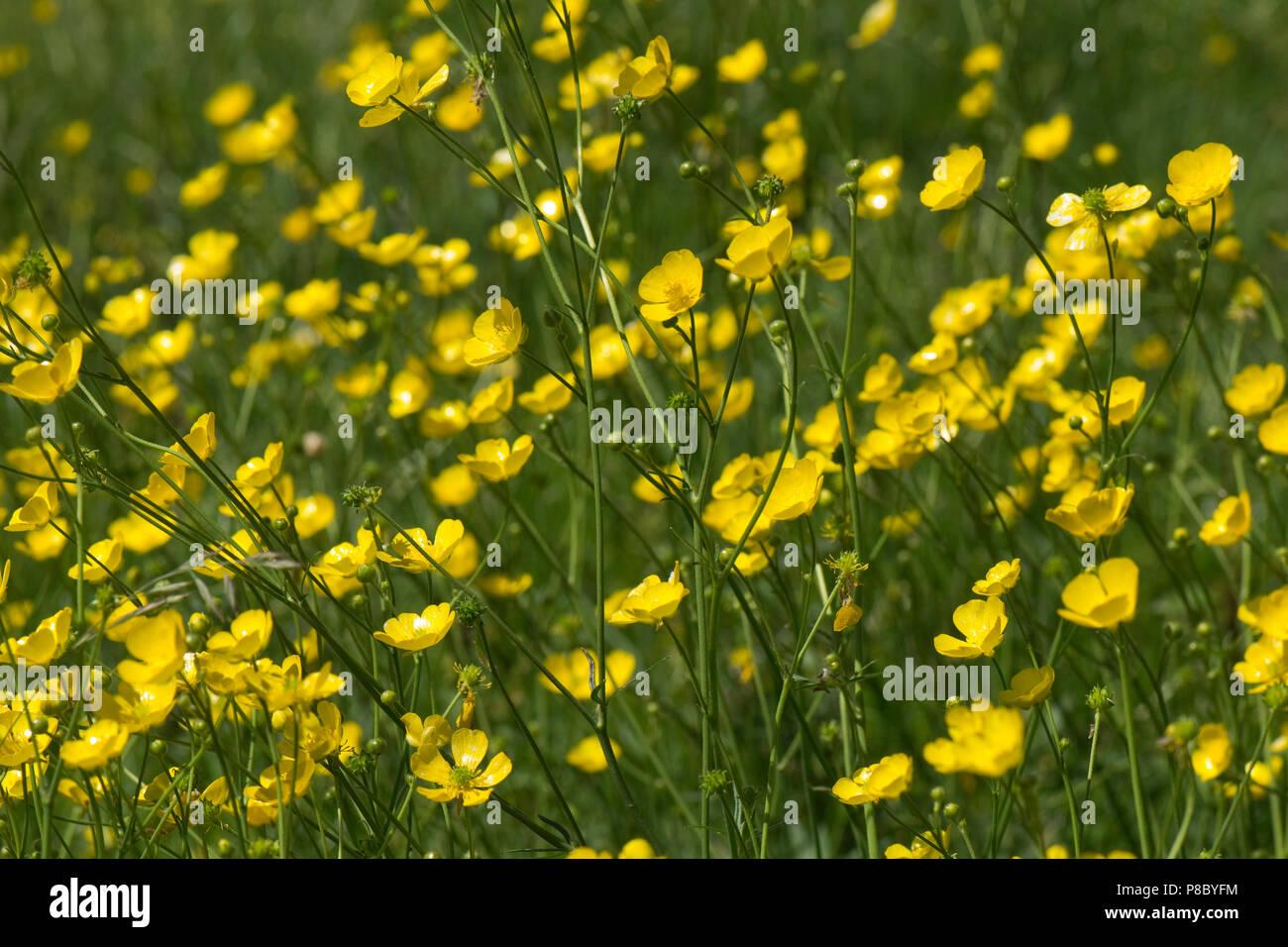 Fiori Di Campo Gialli.Di Colore Giallo Brillante E Fiori Di Campo Renoncules Ranunculus