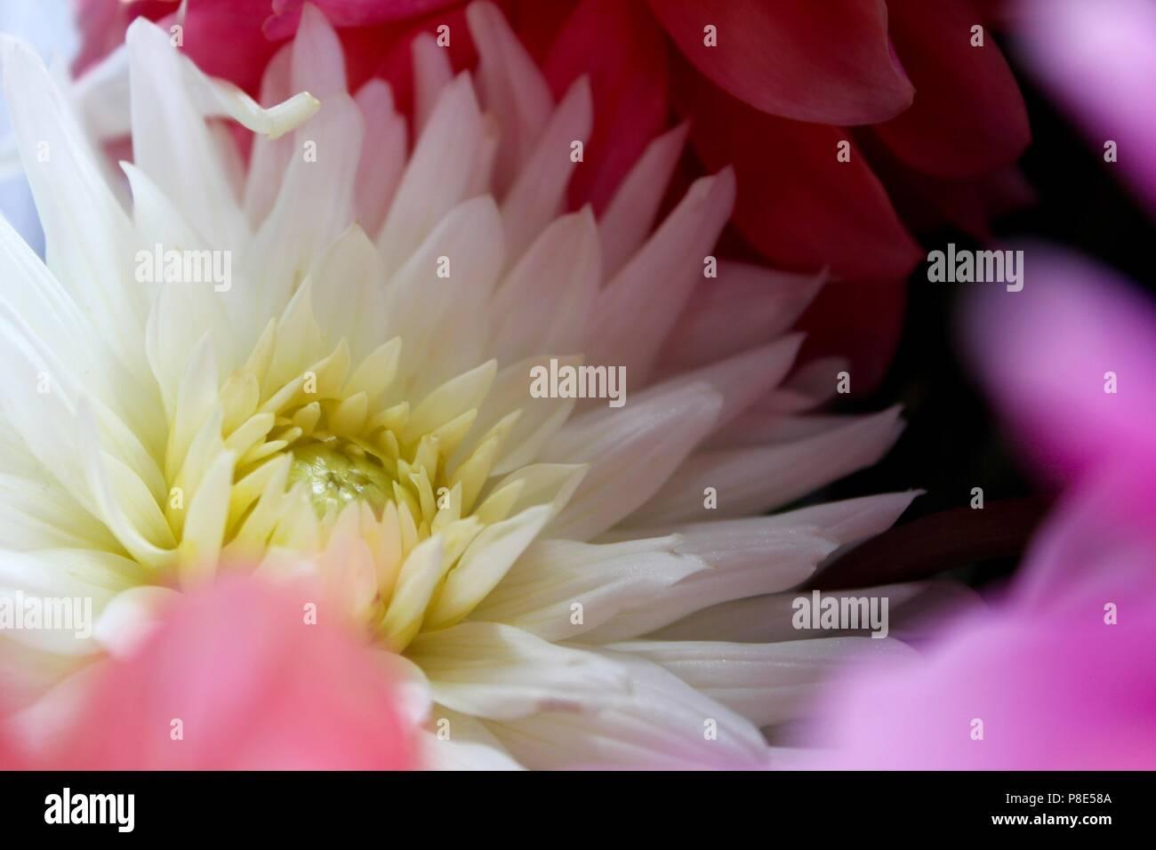 Soft fiori -bianco, rosa e viola Immagini Stock