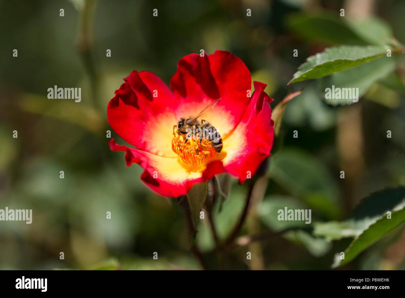 Il miele delle api raccoglie nettare dei fiori da un fiore rosso Foto Stock