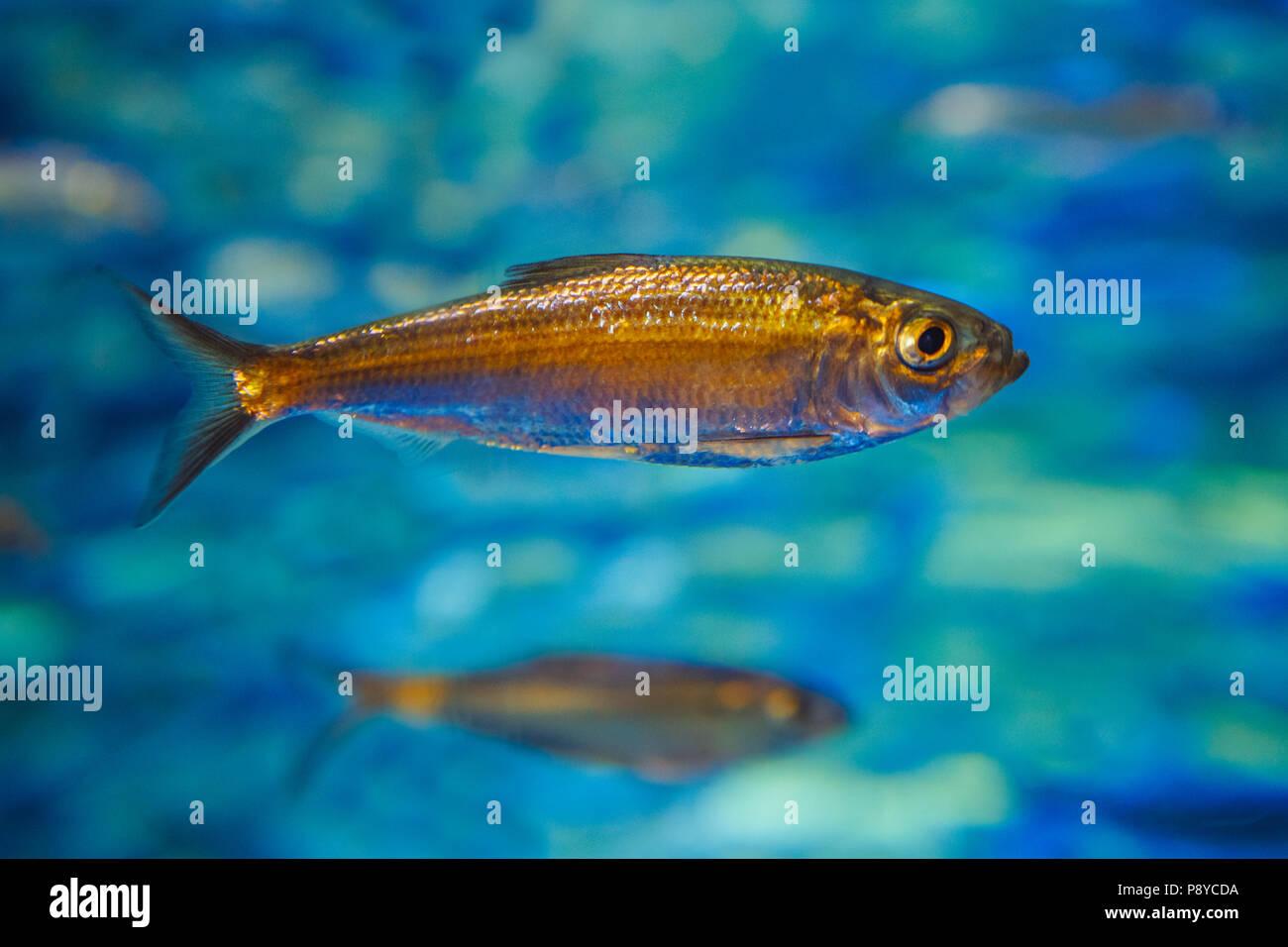 Un piccolo mare oceano tropicale giallo pesce in acqua blu, colorato mondo subacqueo, copyspace per testo e sfondo Immagini Stock